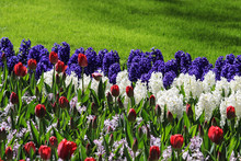 Purple And White Hyacinths In ...