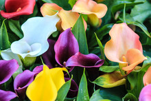 Red White  Purple Yellow And Orange Calla Lilies