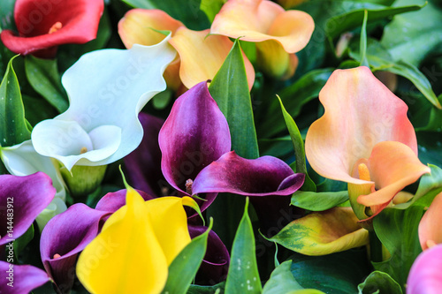Fotografía Red white  purple yellow and orange calla lilies