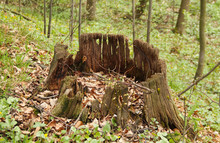 Old Rotting Stump In The Spring Forest