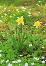Two Yellow Daffodils Among Whi...