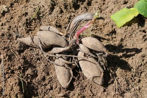 Dahlia Tuber of Dahlia (Georgina) on garden soil before planting