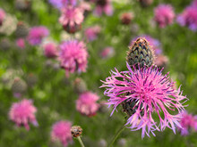 Brown Knapweed In The Meadow