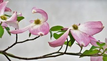 Pink Dogwood Tree Blooming Wit...