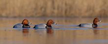 Common Pochard - Aythya Ferina - Group Of Males