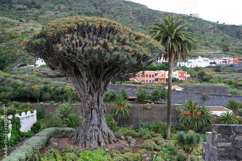 Poster Canarische Eilanden Ancient Dragon Tree, Icod de los vinos, Tenerife, Canary Islands, Spain