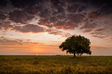 Single Tree At Dusk With Sun Touchingthe Horizon. Northern Territory, Australia