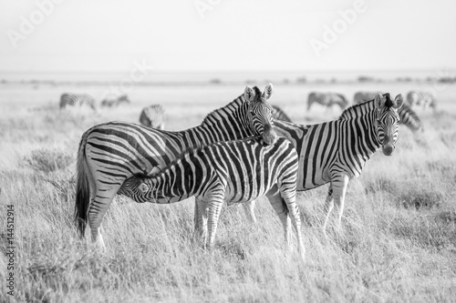 burchell-s-zebra-and-foal-in-the