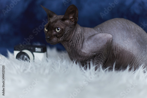 ... Portrait of grey sphinx cat sitting on white blanket looking sideways.  Close up shot of ... 196a0167a