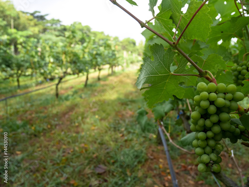 Bunch Of Green Color White G Fruit In Bright Vineyard Row