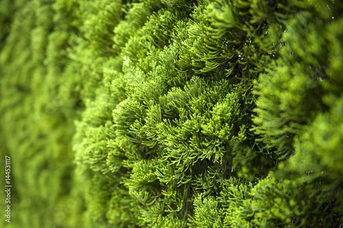 Fotografiet  Lush foliage of Cypress background texture