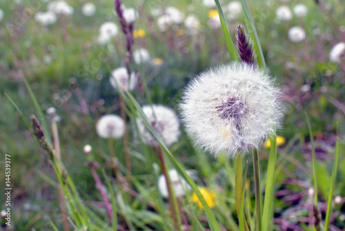 Poster Paardenbloem Dandelion on summer field. Soft focus