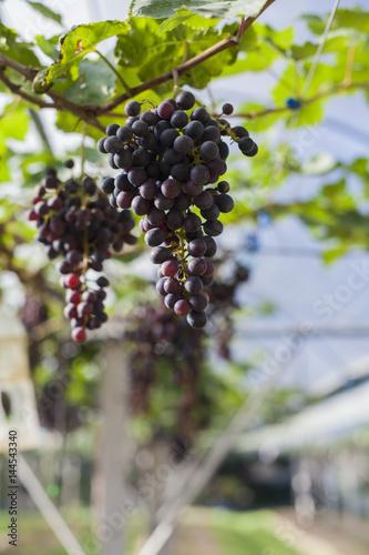 Tuinposter Wijngaard Grape in the farm