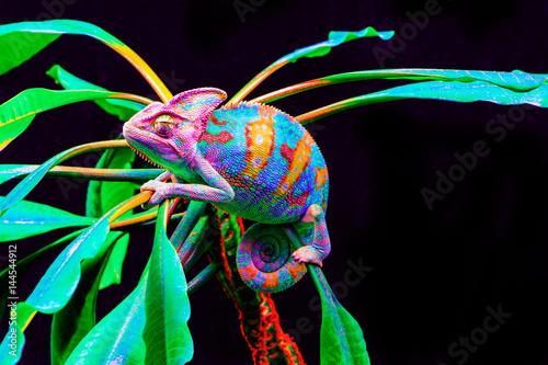 La pose en embrasure Cameleon Yemen chameleon isolated on black background