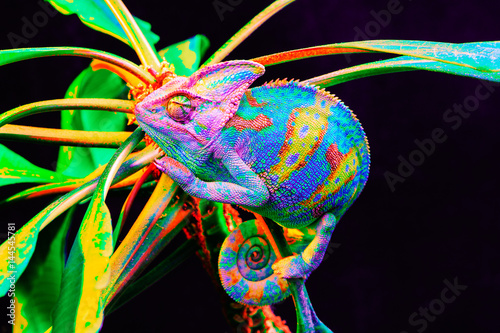 Poster de jardin Cameleon Yemen chameleon isolated on black background