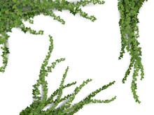 Set Of Realistic Vector Ivy Pl...