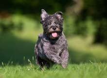 Cairn Terrier Dog