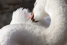 Elegant Trumpeter Swan Cleaning Its Feathers With Its Beak, Closeup Detail