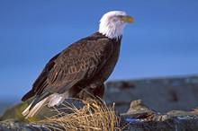 Bald Eagle Sitting On Log By W...