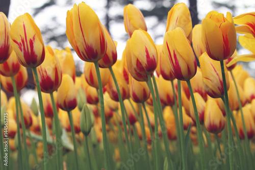 Photo  Kırmızı sarı renk açan laleler