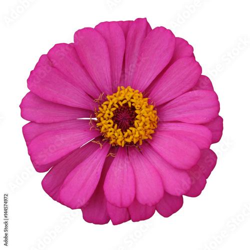 Spoed Fotobehang Roze zinnia flower