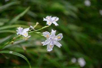 Close up of iridaceae flower