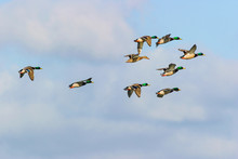 Flock Of Mallard Ducks Flying ...