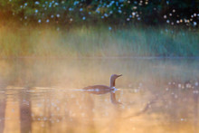 Red Throated Loon In Misty Morrning Light