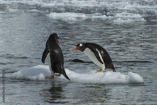 Foto auf Gartenposter Antarktika Gentoo Penguin on the ice
