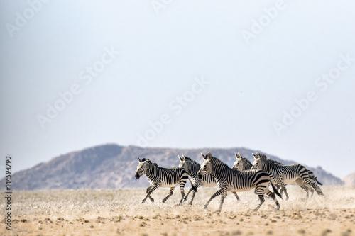Fotografie, Obraz  Hartmaans Mountain Zebra in Namib Naukluft National Park.