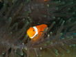 Amphiprion Ocellaris Clownfish In Marine