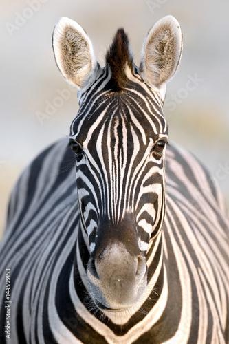 Poster Zebra Zebra portrait
