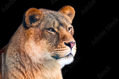 Fotobehang Leeuw Closeup of lioness isolated on black background