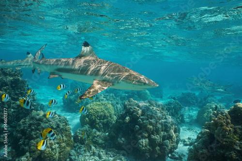 Obraz na dibondzie (fotoboard) Ocean rekin rafowy Blacktip z tropikalnymi rybami i koralowcami w lagunie na południowej wyspie Pacyfiku w Polinezji Francuskiej