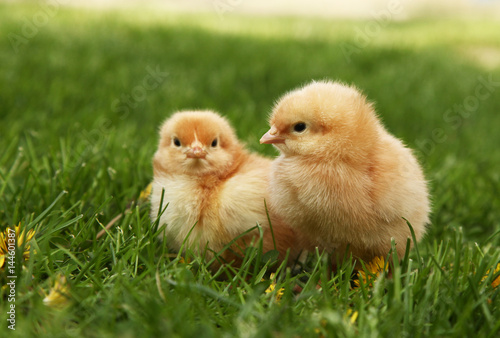 Fototapeta Two cute yellow chicks in colorful dandelion meadow