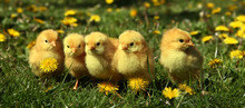 Five Cute Yellow Chicks In Col...