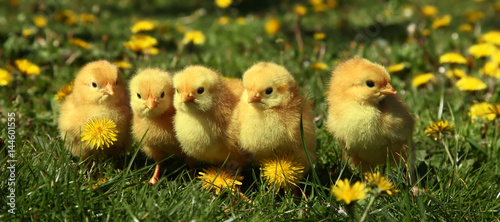 Foto Five cute yellow chicks in colorful dandelion meadow