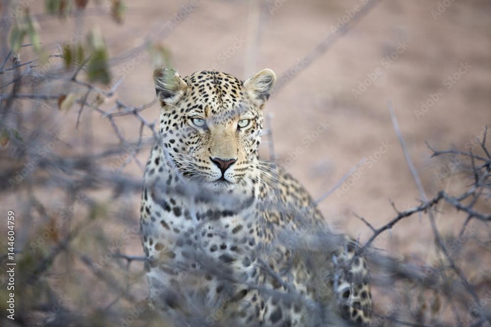Leopard stalking in undergrowth.