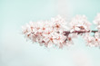 Close up of spring blossom in orchard; selective focus; no people;