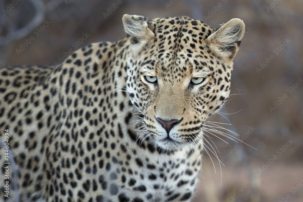Leopard stalking in undergrowth.