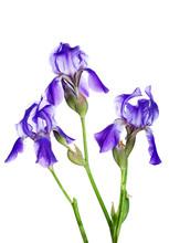 Three Violet Irises