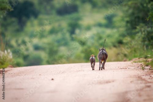 Fotografía  Two Warthogs running away.