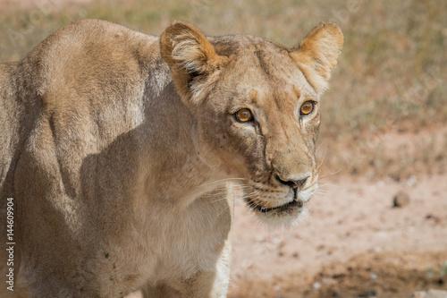 Fotobehang Leeuw Side profile of a Lioness.