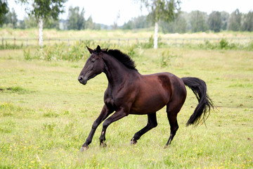 Beautiful dark horse running free at the pasture