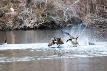 Canadian Geese Fighting Or Fli...