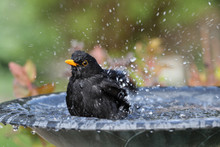 Close Up Of A Male Blackbird E...