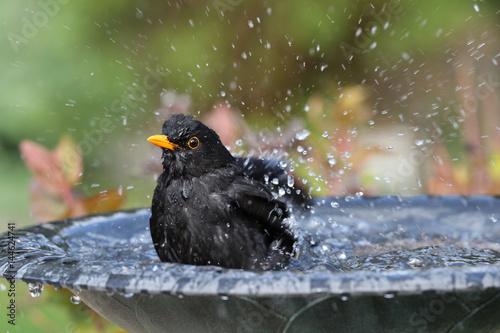 Close up of a male Blackbird enjoying a wash in a bird bath Wallpaper Mural