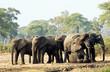 Elephants bathing in mud, Okavango, Botswana