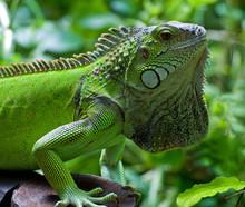 Green Iguana, Knysna, Western Cape, South Africa