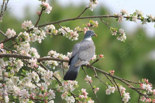 Pigeon ramier dans un arbre en fleur